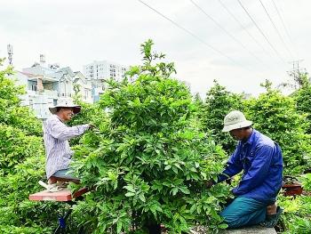 Thời tiết thuận, người trồng mai mừng