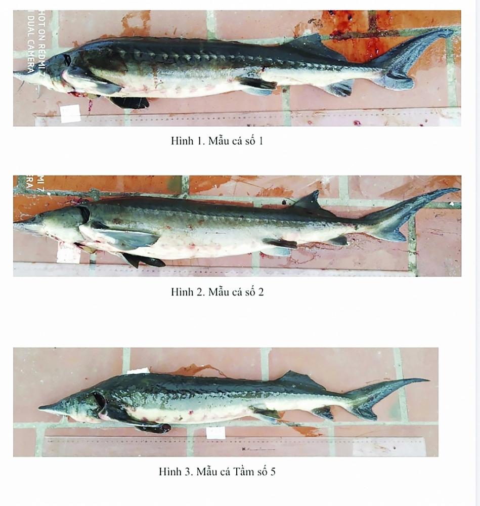 Kết quả giám định thiếu cụ thể, Hải quan gặp khó trong quản lý nhập khẩu cá tầm