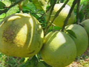 Thừa Thiên-Huế ưu tiên phát triển trái cây thanh trà