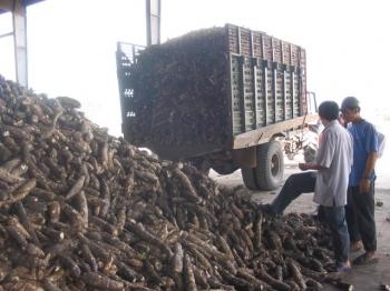 Xuất khẩu sắn cả năm có thể đạt 1,5 tỷ USD