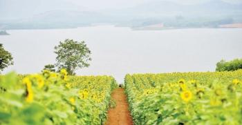 Rực rỡ mùa hoa hướng dương bên sông Sào Nghệ An