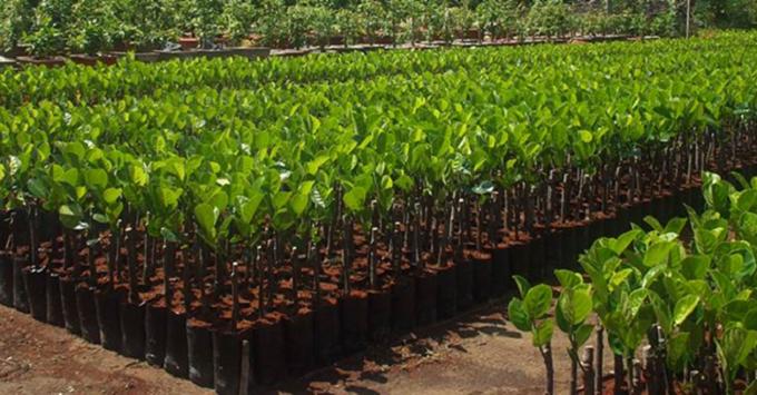 Thủ tục nhập khẩu giống cây trồng thực hiện qua Cơ chế một cửa quốc gia