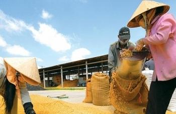 Dự báo giá gạo Thái tăng cao, cơ hội lớn cho gạo Việt