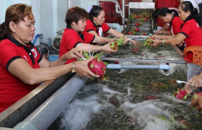 Diện tích thanh long Trung Quốc tăng hơn 10 lần, Việt Nam âu lo
