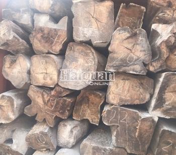 Đang khám xét lô hàng 50 container gỗ quý nhập lậu
