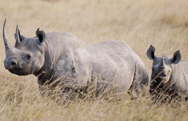 Hải quan Nam Phi triệt phá đường dây buôn lậu sừng tê giác