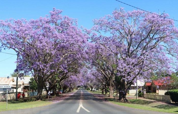 Australia: Rực rỡ mùa hoa phượng tím tại thị trấn Grafton