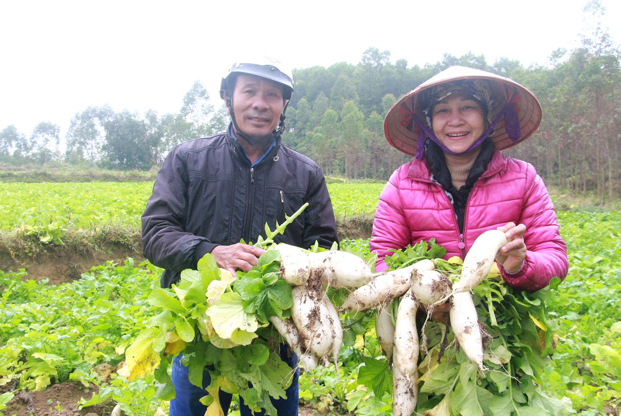 Củ cải tươi Đầm Hà trước khi lựa chọn mang sơ chế thành sản phẩm khô có củ to, sức chống chịu sâu bệnh tốt.