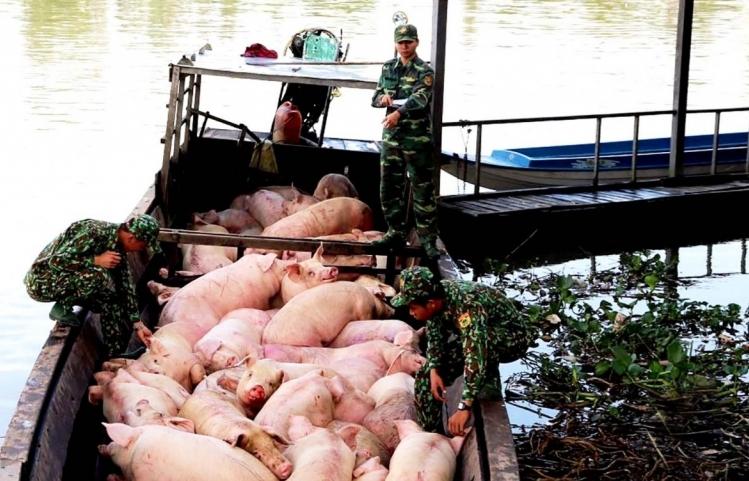 Quyết ngăn chặn nhập lậu lợn trên đường mòn, lối mở